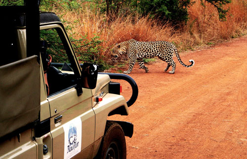 Africa Safari Leopard Sighting Pilanesberg Black Rhino Game Lodge Pilanesberg Game Park