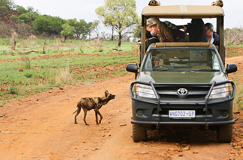 Pilanesberg Ivory Tree Game Lodge Game Drives Wild Dog Big 5 Malaria Free Pilanesberg National Park South Africa