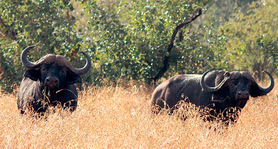 African Buffalo Sighting Game Drive Safari Accommodation Bookings Pilanesberg Game Reserve Malaria free Big Five Game Reserve