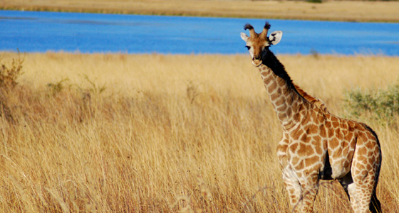 Giraffe Sighting Safari Accommodation Bookings Pilanesberg Game Reserve Malaria free Big Five Game Park
