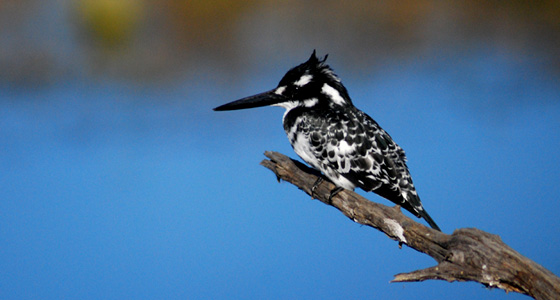 Pied Kingfisher Sighting Game Drive Accommodation Bookings Pilanesberg Game Reserve Safari Malaria free Big Five Game Reserve