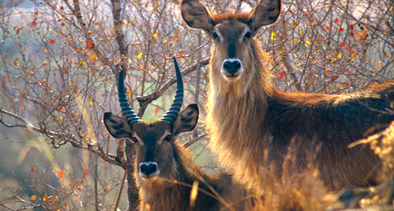 Waterbuck Sighting Accommodation Bookings Pilanesberg Game Reserve Malaria free Big Five Game Reserve