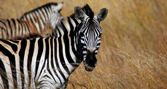 Zebra Grazing Accommodation Bookings Pilanesberg Game Reserve Safari Malaria free Big Five Game Reserve
