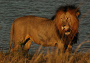 Lion Pilanesberg Game Reserve Safari Game Drives Big Five Game Reserve South Africa